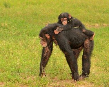 Chimpance-8-128368736
